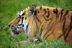 The Siberian tiger (Panthera tigris altaica) Stock Image