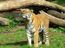 Siberian Tiger Royalty Free Stock Photography