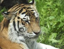Siberian Tiger Or Panthera Tigris Altaica Fotos de Stock Royalty Free