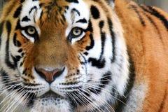 Siberian tiger Panthera tigris altaica. Also called Amur tiger looking intensive at camera. Horizontal close up image Royalty Free Stock Photography