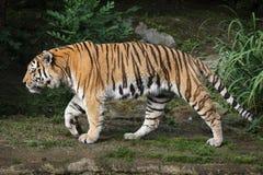 Siberian tiger Panthera tigris altaica. Also known as the Amur tiger Stock Photo