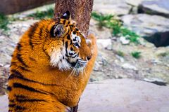Siberian tiger, Panthera tigris altaica, also known as the Amur tiger royalty free stock photography