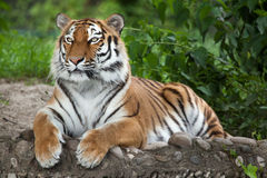 Siberian tiger Panthera tigris altaica. Also known as the Amur tiger Stock Images