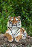 Siberian tiger Panthera tigris altaica Royalty Free Stock Photo