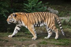 Siberian tiger Panthera tigris altaica. Also known as the Amur tiger Royalty Free Stock Photo
