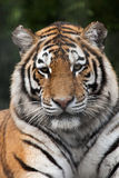 Siberian tiger (Panthera tigris altaica) Royalty Free Stock Photography