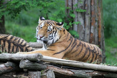 The Siberian tiger Royalty Free Stock Photography