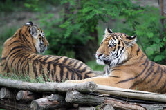 The Siberian tiger Stock Photo