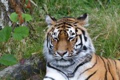 Siberian Tiger (Panthera tigris altaica) or Amur Tiger Royalty Free Stock Photos