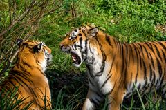 The Siberian tiger,Panthera tigris altaica in the zoo stock photo
