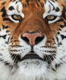 The Siberian tiger. (Panthera tigris altaica) close up portrait. Isolated on white background Royalty Free Stock Images