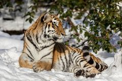 Siberian tiger, Panthera tigris altaica, resting in the snow in the forest. Looking at camera. Siberian tiger, Panthera tigris altaica, looking into camera Stock Images
