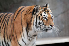 Siberian tiger (Panthera tigris altaica) looking Royalty Free Stock Photos