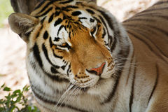Siberian tiger (Panthera tigris altaica) looking Stock Photos