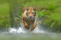 Siberian tiger, Panthera tigris altaica, low angle photo direct face view, running in the water directly at camera with water spla. Sh Stock Photography