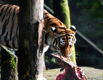 Siberian tiger, Panthera tigris altaica, Male. Eating raw meat. Slovenia, Ljubljana ZOO, October 2018 royalty free stock image