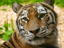 Siberian Tiger / Panthera tigris altaica portrait head and face. Amur / Siberian Tiger portrait, head and face. Now critically endangered in the wild. Native to stock image