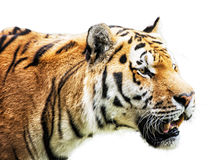Siberian tiger - Panthera tigris altaica - portrait on the white Stock Photography