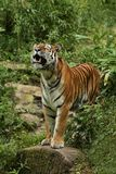 Siberian tiger, Panthera tigris altaica, posing directly in front of the photographer. Dangereous predator in action. Tiger in green taiga habitat. Beautiful Royalty Free Stock Photography