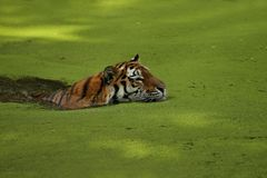 Siberian tiger, Panthera tigris altaica, posing directly in front of the photographer. Dangereous predator in action. Tiger in green taiga habitat. Beautiful Royalty Free Stock Photos