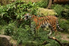 Siberian tiger, Panthera tigris altaica, posing directly in front of the photographer. Dangereous predator in action. Tiger in green taiga habitat. Beautiful Stock Photos