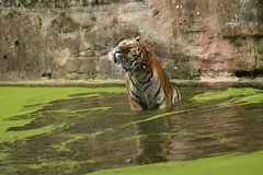 Siberian tiger, Panthera tigris altaica, posing directly in front of the photographer. Dangereous predator in action. Tiger in green taiga habitat. Beautiful Stock Images