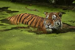 Siberian tiger, Panthera tigris altaica, posing directly in front of the photographer. Dangereous predator in action. Tiger in green taiga habitat. Beautiful Royalty Free Stock Image