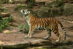 Siberian tiger, Panthera tigris altaica, posing directly in front of the photographer. Dangereous predator in action. Tiger in green taiga habitat. Beautiful Stock Image