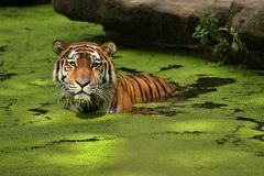 Siberian tiger, Panthera tigris altaica, posing directly in front of the photographer. Royalty Free Stock Photos