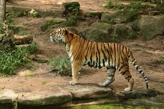 Siberian tiger, Panthera tigris altaica, posing directly in front of the photographer. Dangereous predator in action. Tiger in green taiga habitat. Beautiful Royalty Free Stock Images