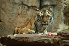 Siberian tiger, Panthera tigris altaica, posing directly in front of the photographer. Dangereous predator in action. Tiger in green taiga habitat. Beautiful Royalty Free Stock Photo