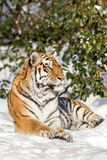 Siberian tiger, Panthera tigris altaica, resting in the snow in the forest. Looking at camera. Siberian tiger, Panthera tigris altaica, looking into camera Stock Photography