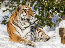 Siberian tiger, Panthera tigris altaica, resting in the snow in the forest. Looking at camera. Siberian tiger, Panthera tigris altaica, looking into camera Stock Photo