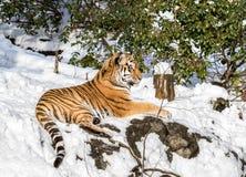 Siberian tiger, Panthera tigris altaica, resting in the snow in the forest. Zoo. Siberian tiger, Panthera tigris altaica, resting in the forest in winter. Snow Royalty Free Stock Photos