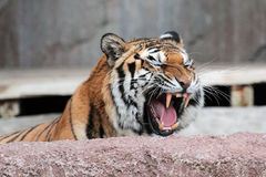 Siberian tiger (Panthera tigris altaica) showing teeth Royalty Free Stock Photography