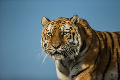 Siberian Tiger,  Panthera tigris altaica Royalty Free Stock Photos