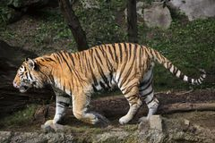 Siberian tiger Panthera tigris altaica. Also known as the Amur tiger Royalty Free Stock Image