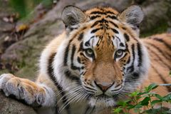 Siberian tiger panthera tigris altaica. In zoo Royalty Free Stock Photography