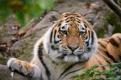 Siberian tiger panthera tigris altaica. In zoo Stock Photography