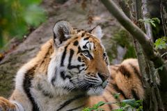 Siberian tiger panthera tigris altaica. In zoo Stock Images