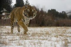 Siberian tiger, Panthera tigris altaica Stock Images