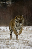 Siberian tiger, Panthera tigris altaica Royalty Free Stock Photography