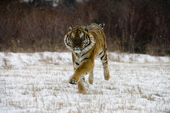 Siberian tiger, Panthera tigris altaica Royalty Free Stock Photo