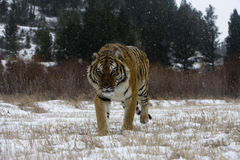 Siberian tiger, Panthera tigris altaica Stock Photography