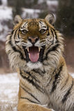 Siberian tiger, Panthera tigris altaica Royalty Free Stock Images