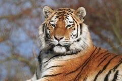 Siberian Tiger Panthera Tigris Altaica som ser stolt och kunglig arkivbild