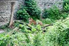 Siberian tiger ,Panthera tigris altaica. Siberian tiger Panthera tigris altaica standing on a rock Stock Photography