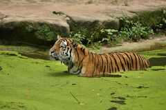 Siberian tiger, Panthera tigris altaica, swimming in the water directly in front of the photographer. Dangereous predator in action. Tiger in green taiga Stock Photo