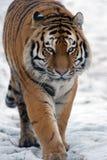 Siberian Tiger (Panthera Tigris Altaica) Stock Photos