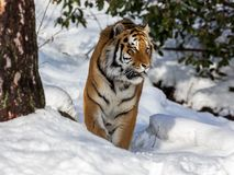 Siberian tiger, Panthera tigris altaica, walking in the snow in the forest. Front view. Siberian tiger, Panthera tigris altaica, walks in the forest in winter Royalty Free Stock Image
